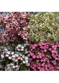 Waxflower (Chamelacium)